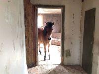 Dokumentären om Cal och hans hästar sänds den 14 juni. Foto:   Anna Tigerström/Sveriges Radio